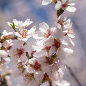 Vic Stamp - Almond Blossom