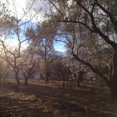 Almond Blossom - January