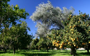 Almond and Olive - Olives and Oranges