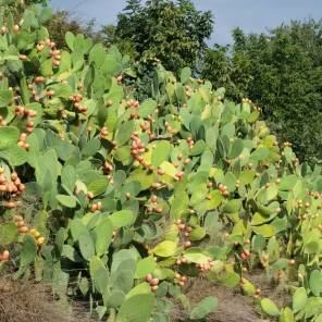 prickly pears by Louise@vinas de vera