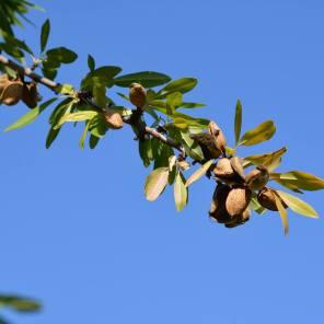 Almonds by Louise@vinas de vera