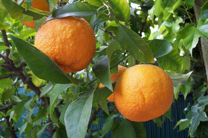 800px-Citrus_aurantium